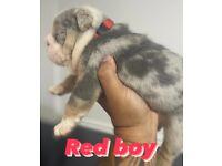 Amazing English bulldog puppies