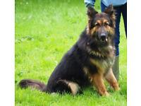 Male german shepherd