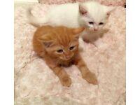 Stunning Ginger and White Kittens