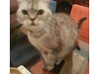 Lovely Boy Cheshire Cat - Neutered