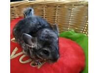Baby girl chinchilla