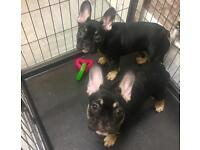 Female French bull dogs