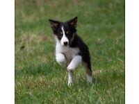 Border collie pups/puppies