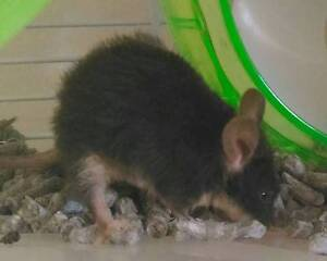 FREE - YOUNG MALE PET MOUSE TO GOOD HOME Margate Kingborough Area Preview