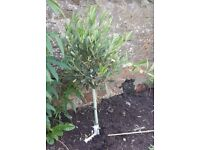 Olive Tree - Ready to be Planted - £45 - Free Delivery (Bristol & some South Glous)