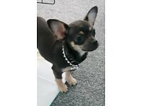 Pedigree blue and tan chihuahua puppy REDUCED PRICE