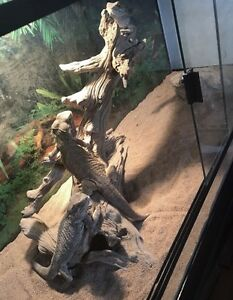 Bearded dragons and tank