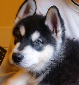 Alaskan malamute puppies black & white ready now