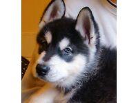 Alaskan malamute puppies black & white ready now