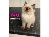 Beautiful Ragdoll Kittens Ready now!!