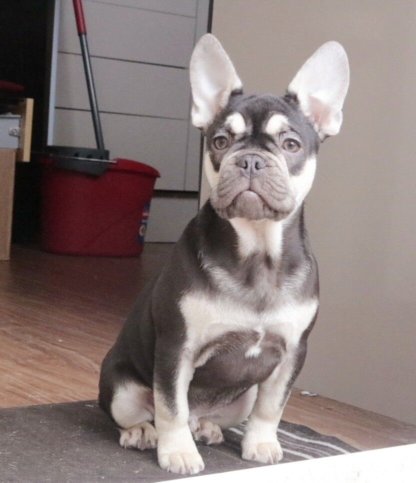 how to house train a french bulldog