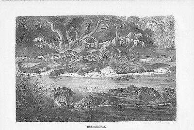 Mohrenkaiman Melanosuchus niger Holzstich von 1912 Schwarzer Kaiman