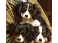 Pedigree Cavalier King Charles Spaniel puppies