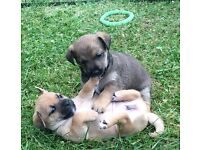 Cairn x cross Jack Russell Puppies