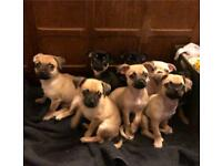 Pugapoo cross chihuahua puppies