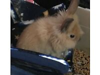 2 Beautiful babies cross lionhead bunnies