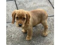 Kc reg cocker spaniel puppies