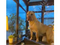 Shar Pei puppies- KC Reg & Health Tested