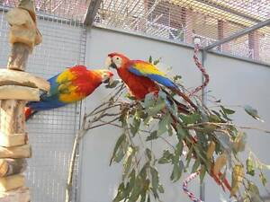 Scarlet Macaws - Handreared Brisbane City Brisbane North West Preview