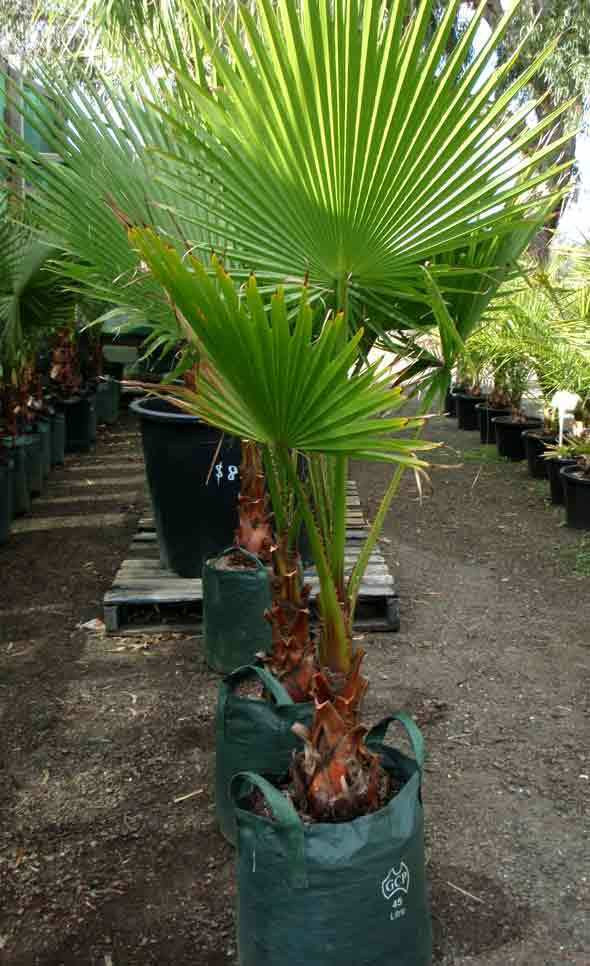 american cotton fan palm tree washingtonia robusta palm ebay. Black Bedroom Furniture Sets. Home Design Ideas