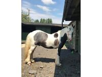2 Year Old Coloured Cob, 13.2-14hh, Pony, Unbroken