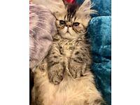 Ultra faced male Persian kitten ready now