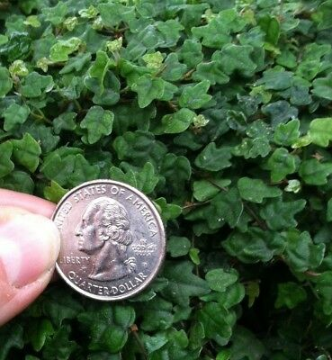 Ficus Pumila 'quercifolia' Miniature Oak Leaf Creeping Fig *think Fairy Gardens