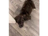 Mixed breed Jackapoo puppies