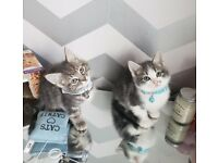 Silver Tabby kittens