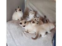 Ragdoll Pedigree Kittens