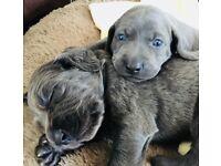 blue weimaraner puppys for sale