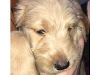 Labradoodle's for sale - puppy's