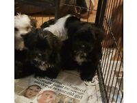 Stunning shih Tzu X Yorkie puppies