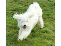 Hungarian Puli for Rehome