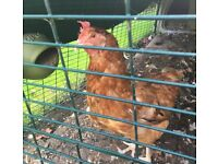 Lonely Chicken looking for new home - Free of charge