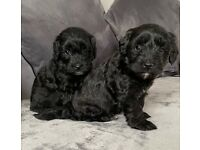 Jackapoo puppy's