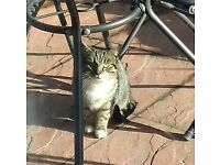 found tabby cat - gillingham area