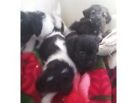 Jackapoo boy and girl puppies ready now