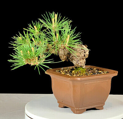 Japanese Black Pine Bonsai -