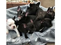 Litter of 6 french bulldog puppies