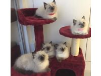 Ragdoll Seal Point Kittens 12 Weeks Old. Vaccinated.