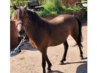Nancy Lead Rein/first Pony