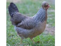 Cream/Gold crested legbar pullets
