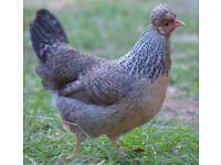 Cream & Gold crested legbar Pullets