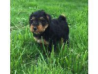 Welsh Terrier X Lakeland Puppies