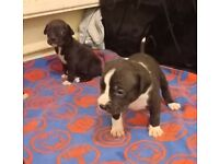 American Bulldog puppies for sale. Father is XL American Bulldog.