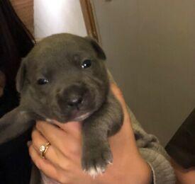 BLUE REGIMENT PUPPYS