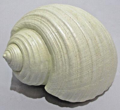 Large Seashell Shells Beach Aquarium Home Desk Table Decor Natural White