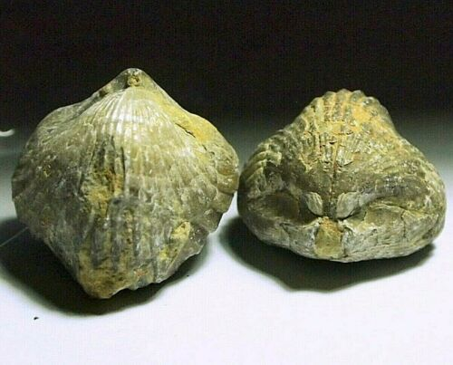 Fossil clam Bivalve Specimen,(2pc),FOS-C62,177.18ct,1.25oz,30x29x22mm