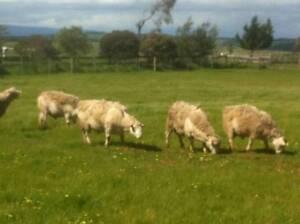 Annalara White Dorper Stud Rams 3-4YO For Sale Tullamarine Hume Area Preview